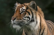 Sumatran Tiger Looking Sideways