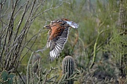 Hawk - Ferruginous Hawk in Flight
