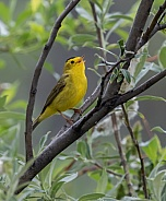 Male Wilson's Warbler Singing for a Mate