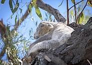 Wild Koala Sleeping in Tree