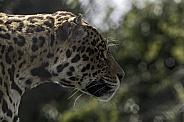 Jaguar Side Profile Face Shot