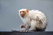 Silvery marmoset (Mico argentatus)