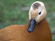 Ruddy Shell Duck