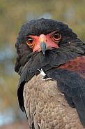 The bateleur