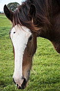 Shire Horse - close up