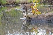 Canada Lynx (Male)