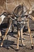 Young male Kudu Antelope - Botswana
