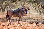 A side profile portrait of a Blue Wildebeest in Southern African savanna
