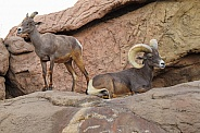 Big Horn Sheep - Ram and Ewe