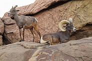 Big Horn Sheep - Ram and Ewe