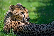 Cheetah resting, Dappled Light.