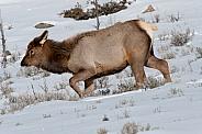 Elk calf in snow