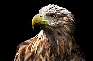 White Tailed Sea Eagle close up