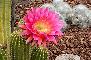 Flying Saucer Cactus with Flowers
