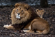 African lion with cub