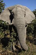 Bull Elephant - Zimbabwe