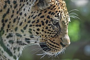 African Leopard Looking Sideways