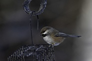 Boreal Chickadee in Alaska