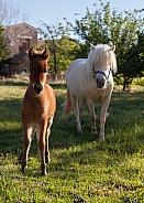 Equus caballus, horse, pony
