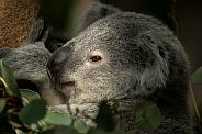 Young Koala Close Up
