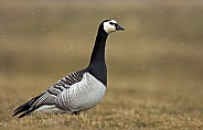 The barnacle goose (Branta leucopsis)