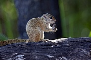 Eastern Gray Squirrel - Okavango Delta - Botswana