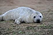 Grey Seal Pup (Halichoerus grypus)