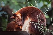Tree Kangaroo with Joey