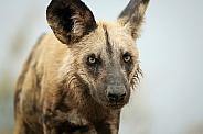 African Wild Dog (wild)