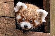 Red Panda Cub Peeking Out Nest Box