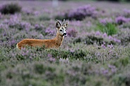 The European roe deer