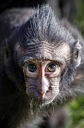 Crested Macaque (Macaca Nigra)