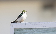 A Violet-green Swallow in Alaska