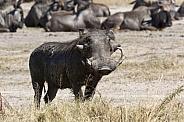 Warthog - Namibia