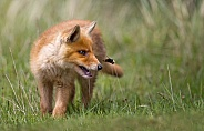 Red Fox Cub and a bumblebee