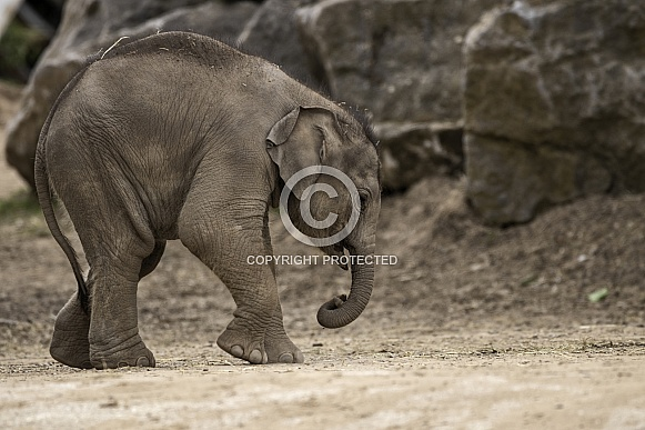 Newborn Asiatic Elephant Calf Full Body Side Shot