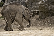 Newborn Asiatic Elephant Calf Full Body Side Shot