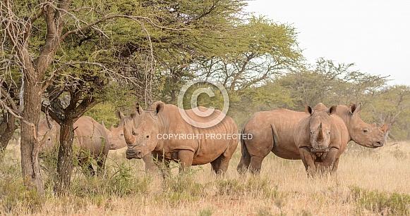 White Rhino group