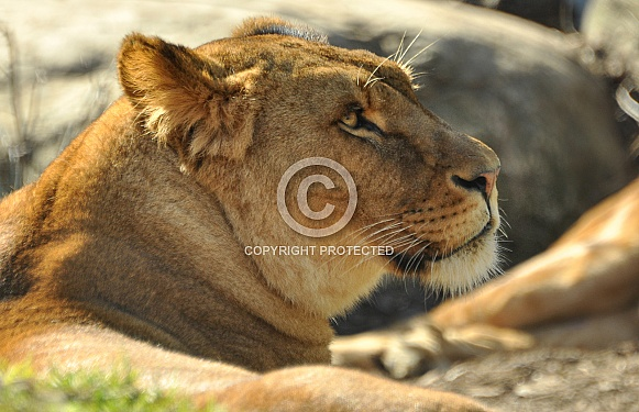 Lionesss