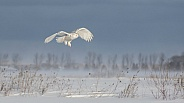 Female Snowy Owl in Flight