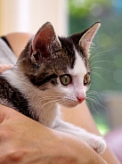 European Shorthair Kitten