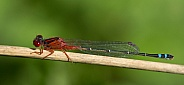 Red and blue damselfly (wild)