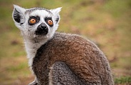 Young Ring Tailed Lemur Looking Upright