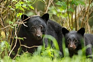 Mother and cub black bear