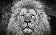 Close up Lion black white