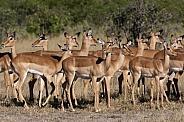 Impala (Aepyceros melampus) - Botswana
