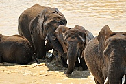 African Elephants emerging from water
