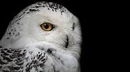 Snowy Owl Black Background