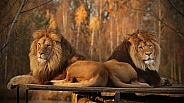 Lion brothers in evening sun