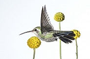 Broad-tailed Hummingbird (wild female) & Drumstick Plant